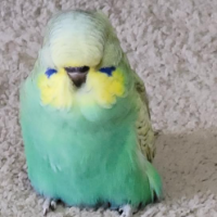 Aussie Budgie Keepers